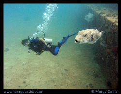 Diver swimming near a really big puffer fish - near the T... by Margo Cavis