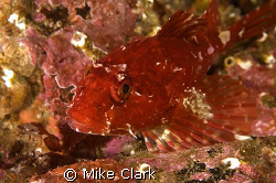 Bright red Scorpionfish. Nikon D70, 60mm lens, with twin ... by Mike Clark