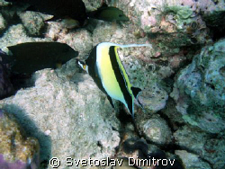 Moorish idol, Olimpus Mui 700 by Svetoslav Dimitrov