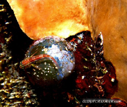 """Tiny fish on """"Sailor's Eye"""" in crevice of sponge. Hard to... by Leigh Chapman"""