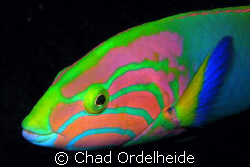 A Beautiful Wrasse that was buzzing my camera. After mult... by Chad Ordelheide