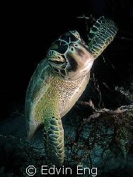 Ninja Turtle! Taken in Sipadan with Canon S80. by Edvin Eng