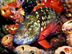 Sleeping Stoplight Parrotfish, Night Dive, Bonaire  by Abimael Márquez