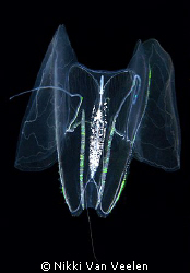 Some kind of a seawasp taken on a night dive at Sharksbay. by Nikki Van Veelen