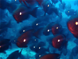 Soldier fish on the move. by Melissa So