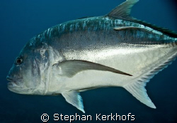 Giant trevally (Caranx ignobilis) at shark & yolanda reef... by Stephan Kerkhofs