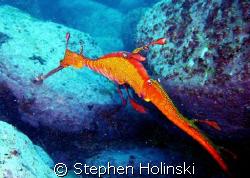 Weedy Sea Dragon on a dive at Bondi Beach, Sydney Austral... by Stephen Holinski