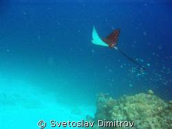 Eagle ray flying away, Kuredu, Maldives, Olimpus Mju 700 by Svetoslav Dimitrov