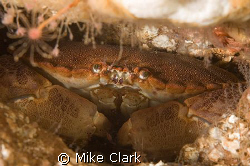 Edible Crab Nikon D70 WITH 60MM LENS,2 x strobes by Mike Clark