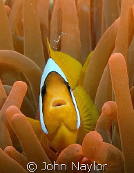 clown fish in red anemone by John Naylor