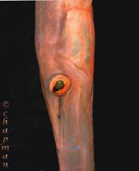 Closeup on Trumpetfish. Lembeh. Nikon D200. 105mm lens. by Leigh Chapman