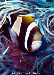 Clownfish...who looks like a sadd? or maybe angry? Clown.... by Stephen Holinski