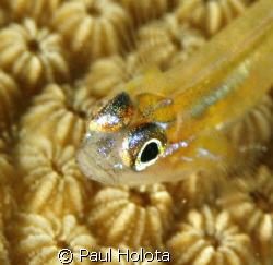 The fluorescent eyes of a Peppermint goby. Bonaire. Canon... by Paul Holota
