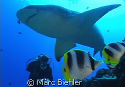 "Lemon shark called ""blanchette"" with diver by Marc Biehler"