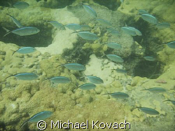 Blue Chromis on inside reef at Lauderdale by the Sea by Michael Kovach