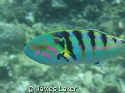 Nice close up of a wrasse, hard to capture well as they a... by James Laker