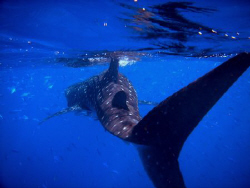 A dive/snorkel which included 4 whale sharks, passing dev... by Dan Lee