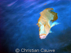 curious wrasse, from boat by Christian Cauwe
