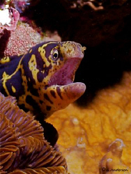 This photo of a Chain Moray was taken in Cozumel at my se... by Steven Anderson