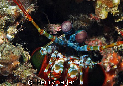 Mantis shrimp (Olympus E330, Macro lens 50mm) by Henry Jager