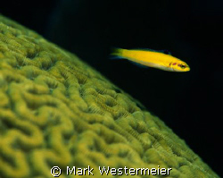 Wrasse over Coral - Image taken in Florida Keys with a Ni... by Mark Westermeier