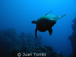 Silhouette of Hawksbill turtle, Mona Island, Puerto Rico.... by Juan Torres