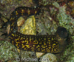 Moray eel on Maury Wreck off Valletta.  Since spear fis... by Michael Zarb
