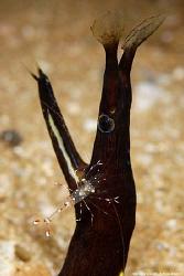 Juvenile ribbon eel, Rhinomuraena quaesita being groomed ... by Anouk Houben