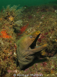 Green Moray, North Pacific by Abimael Márquez
