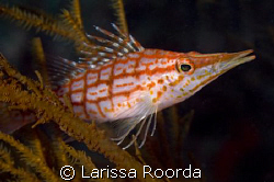Longnose Hawkfish taking a rest.