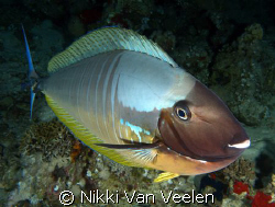 Surgeonfish inspecting my camera. Taken on a night dive a... by Nikki Van Veelen