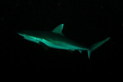 Grey Reef Shark in the maldives. Divesite Madivaru. Nikon... by Andy Kutsch