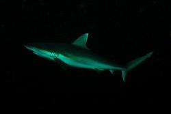 Grey Reef Shark in the maldives. Divesite Madivaru. Nikon... by Andy Kutsch