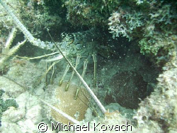 Couple of lobster on tne inside reef at Lauderdale by the... by Michael Kovach