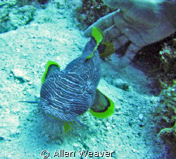 Splended Toadfish in Cozumel Mexico. by Allen Weaver