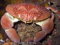 Batwing Coral Crab, on a night dive in St. Thomas.   by Juan Torres