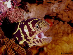 Yep, another Chain Moray photo. I was lucky enough to get... by Steven Anderson