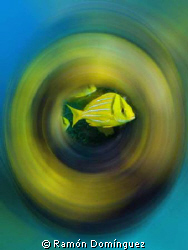School of Porkfish spinning around by Ramón Domínguez