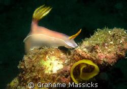 Hypselodoris + eggs found off Tioman Island, Malaysia.  O... by Grahame Massicks