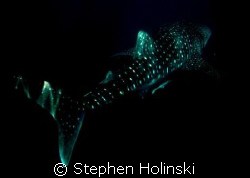 Whaleshark, Western Australia.  Taken with a Canon A630 a... by Stephen Holinski