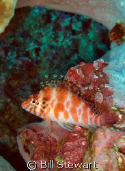 """Threadfin Hawkfish""  This photo was taken during my firs... by Bill Stewart"
