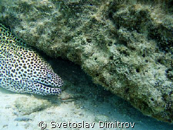 Leopard moray eel, trying to threaten me by Svetoslav Dimitrov