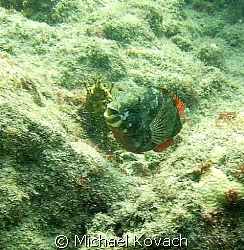 Parrot fish on the inside reef at Lauderdale by the Sea by Michael Kovach