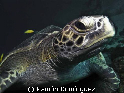 Green sea turtle, in the Sea of Cortéz. by Ramón Domínguez