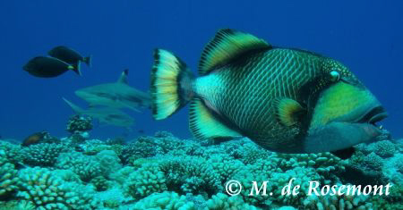 Watch out! Behind you. Titan trigger fish and black tip s... by Moeava De Rosemont