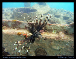 Lion fish in front of the twin barges wreck in the Seyche... by Margo Cavis