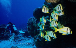 Cozumel Porkfish by Keith Partlo