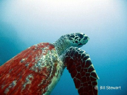 A sea turtle swims right past me on it's way to the surfa... by Bill Stewart
