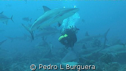 SHARKS  by Pedro L Burguera