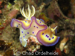 This beautiful nudibranch was perched on the tip of a sta... by Chad Ordelheide